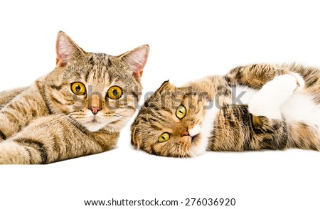 Portrait of two cats Scottish Straight and Scottish Fold lying together isolated on white background - stock photo
