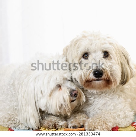 Portrait of two coton de tulear dogs snuggling together - stock photo