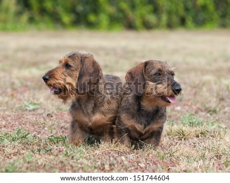 Portrait of two dogs breed Wire-haired dachshund