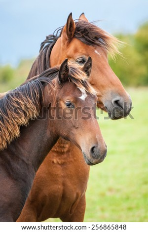 Portrait of two horses in summer - stock photo