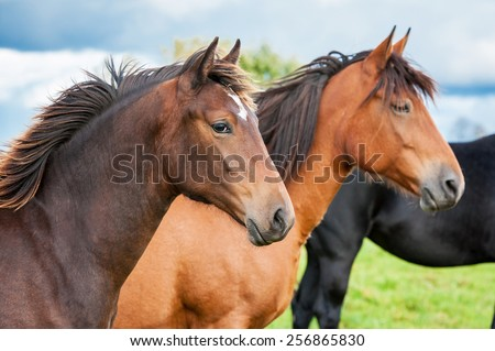 Portrait of two horses in the herd - stock photo