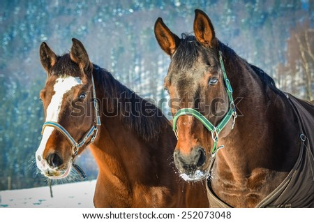 Portrait of two horses in the winter - stock photo