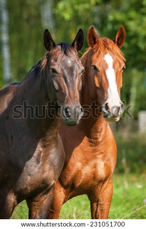 Portrait of two horses on the pasture - stock photo