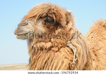 Portrait of two-humped Bactrian camel, with tufts of wool on his head