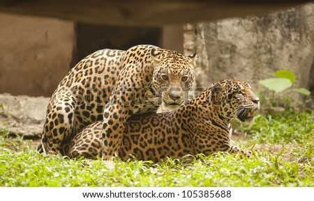 Portrait of two Leopard (Tiger) to play on the floor. - stock photo