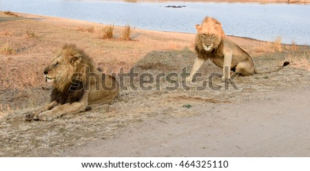 Portrait of two male lions lazing in afternoon sun close to a watering hole