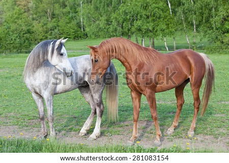 Portrait of two nice arabian horses - stock photo