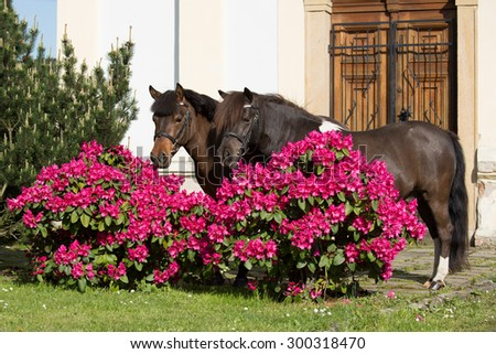 Portrait of two ponies with rhododendrons - stock photo