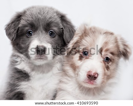 Portrait of two puppies of breed border collie, blue and spotted of white background - stock photo