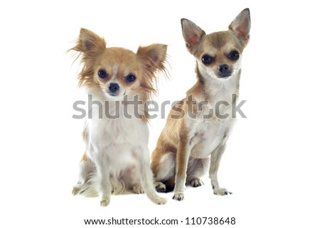 portrait of two purebred  chihuahuas in front of white background