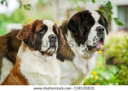 Portrait of two saint bernard dogs - stock photo
