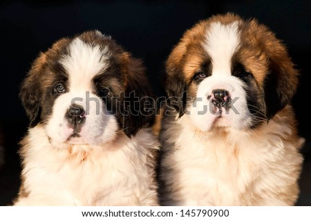 Portrait of two saint bernard puppies on black background - stock photo