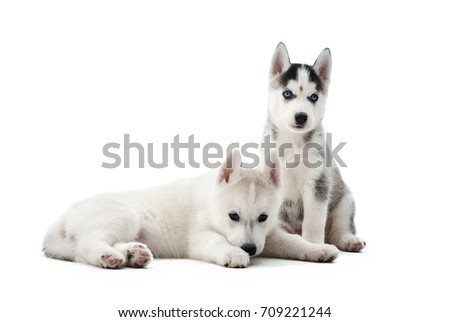 Portrait of two small puppies siberian husky dogs with blue eyes, lying, sitting on floor in studio. Funny small dogs resting, relaxed, looking away, after activity. Carried pets.