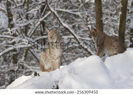 portrait of two watchful  lynx sitting in the snow of a winter forest - stock photo