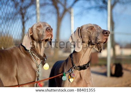 Portrait of two weimaraners in the park - stock photo