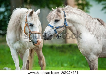 Portrait of two white ponies falling in love - stock photo