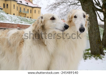 Portrait of two white russian borzoi dogs with winter background - stock photo