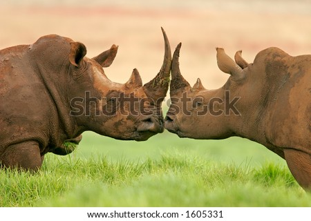 Portrait of two white (square-lipped) rhinoceros (Ceratotherium simum), South Africa