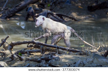 Portrait of very rare all white color feather Crab-eating macaque (Macaca fascicularis) who be the Albinism and problem with his color pigment in nature at Petchaburi,Thailand