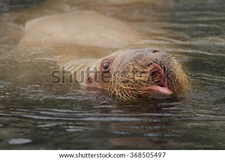 portrait of walrus