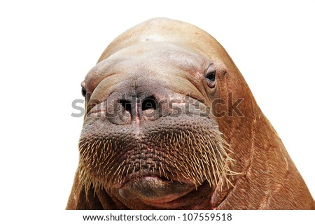 portrait of walrus isolated over white - stock photo
