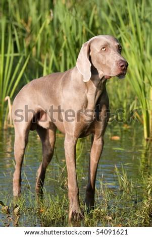 Portrait of weimaraner dog in the water - stock photo