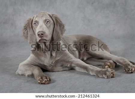 Portrait of Weimaraner puppy, three months old, lying in front of grey background  - stock photo