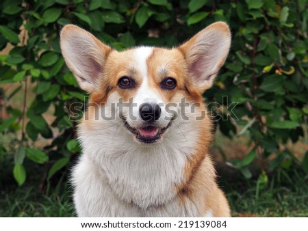 Portrait of Welsh Corgi Pembroke on a natural green background - stock photo