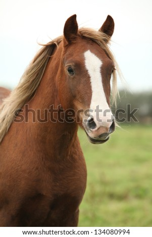 Portrait of welsh pony looking at you on pasturage