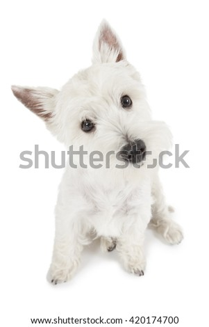 Portrait of West Highland White Terrier dog isolated on white background 