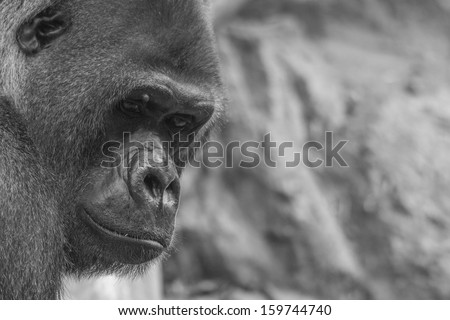 Portrait of west lowland gorilla (silver back) in black and white
