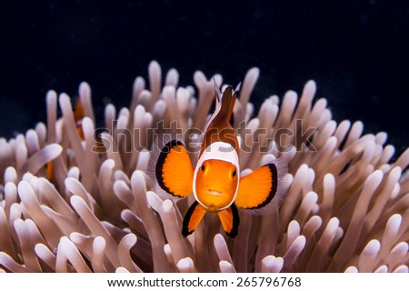 Portrait of Western Clown Anemonefish in Anemone - stock photo
