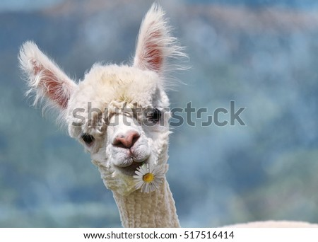 Portrait of white alpaca with flower on mouth on the blurred background.