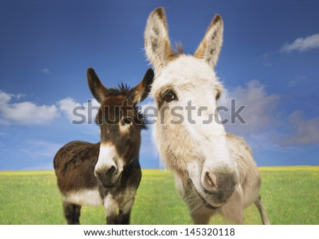 Portrait of white and brown donkeys in the field against sky - stock photo