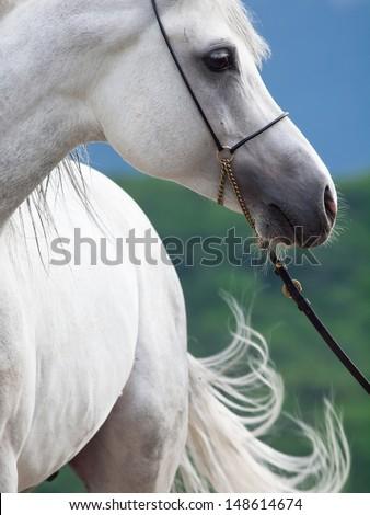 portrait of white arabian stallion. - stock photo
