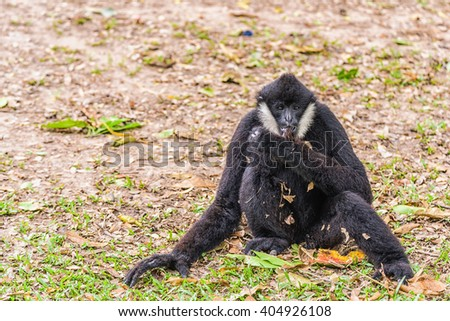 Portrait of White cheeked gibbon. - stock photo