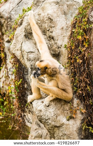 Portrait of White cheeked Gibbon, Thailand