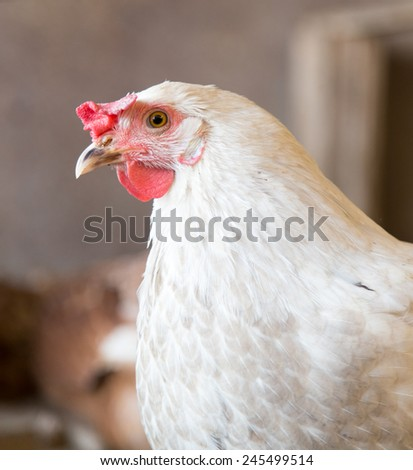 portrait of white chicken farm - stock photo