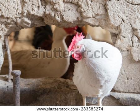 portrait of white chicken farm - stock photo