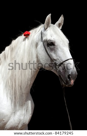Portrait of white horse on the black background