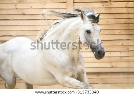 Portrait of white horse runs gallop in the manege - stock photo