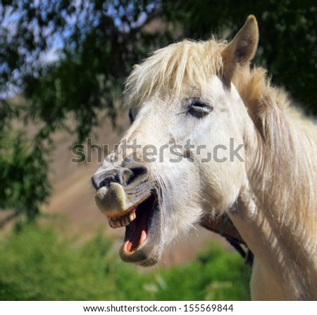 Portrait of white laughing horse in Leh district, Ladakh, Himalaya, Jammu & Kashmir, Northern India, Central Asia  - stock photo