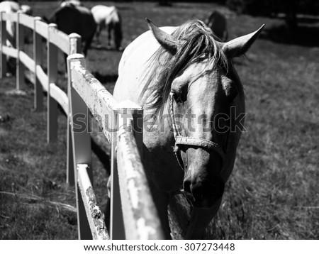 Portrait of white Lipizzaner stallion, Lipica, Slovenia, black and white image - stock photo