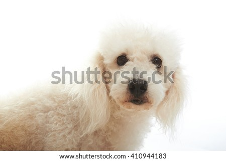 portrait of white poodle isolated on background