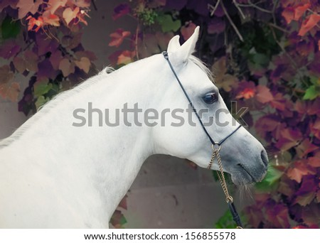 portrait of white  purebred arab at grape background - stock photo