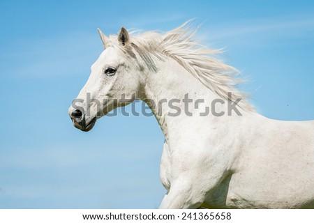 Portrait of white running horse  - stock photo