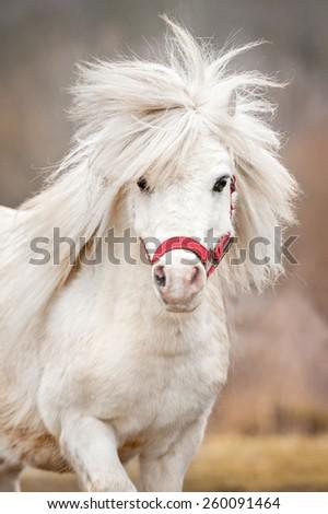 Portrait of white shetland pony with long mane - stock photo