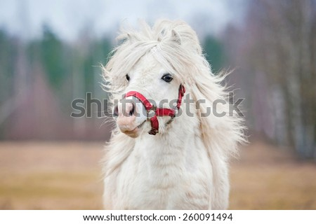 Portrait of white shetland pony with long mane - stock photo