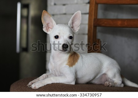 Portrait of white short haired Chihuahua with orange spot lies on a chair