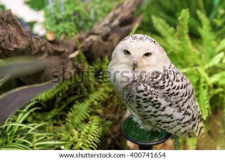 Portrait of white snowy owl near the garden - stock photo